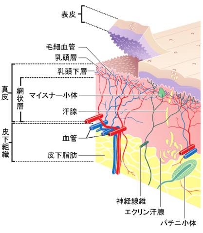 皮膚断面図