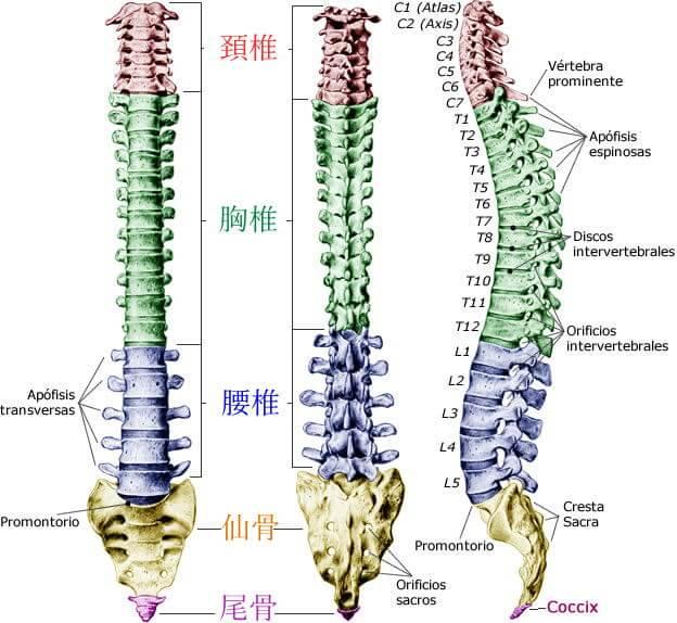札幌頚椎ヘルニア整体 脊柱画像