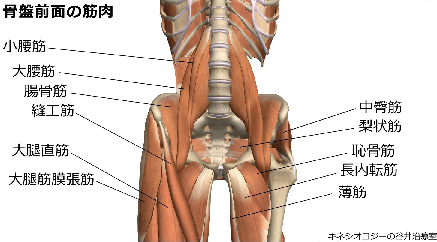 札幌股関節痛整体治療院・骨盤筋