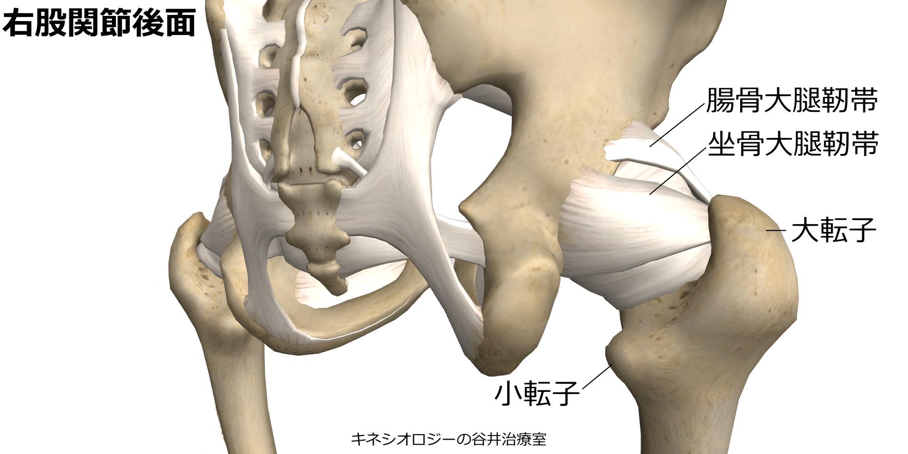 札幌股関節痛整体治療院・股関節靭帯