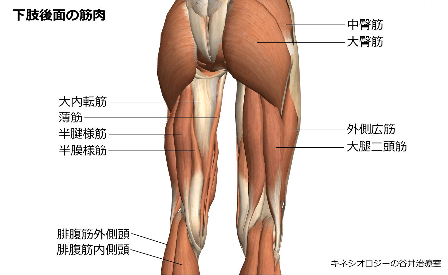 札幌整体膝関節痛治療院 谷井治療室 下肢後面筋