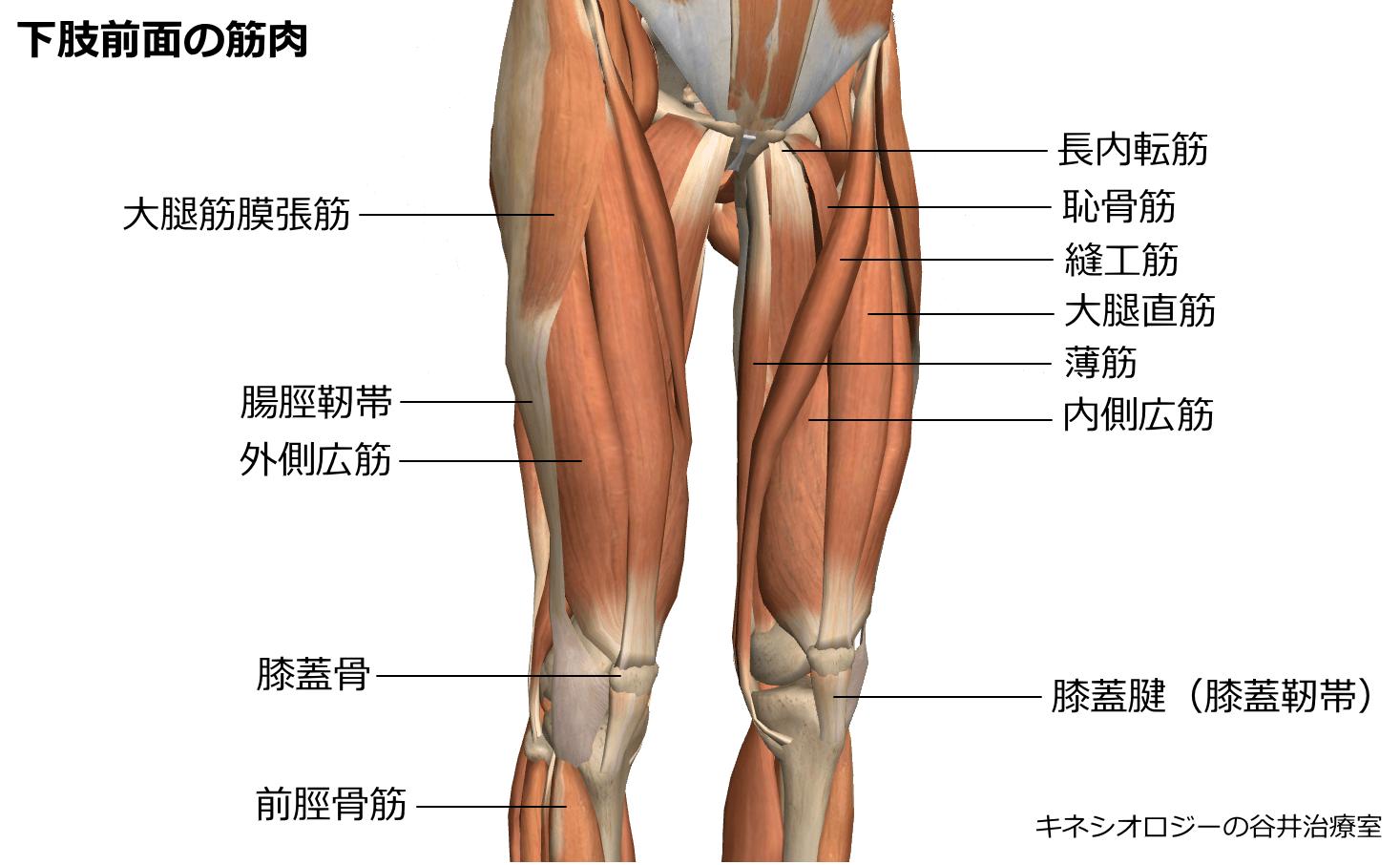 札幌整体膝関節痛治療院 谷井治療室 下肢前面筋