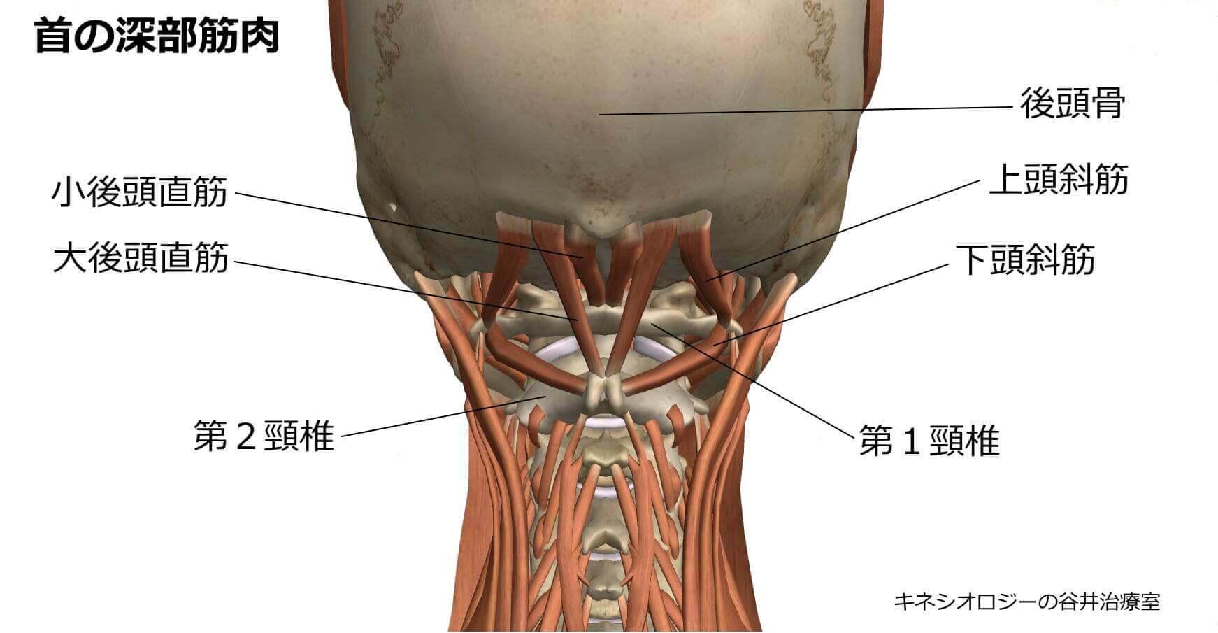 頭痛関連頚部筋