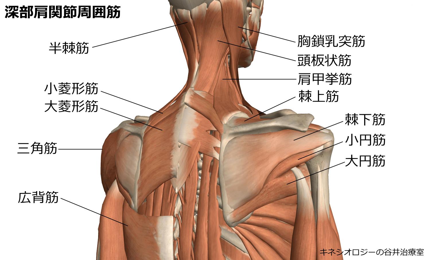札幌肩こり整体治療院 谷井治療室 回旋腱板イラスト