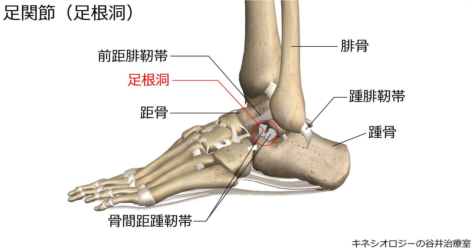札幌足の痛み専門整体治療院 谷井治療室 足根洞の図