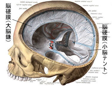脳硬膜画像