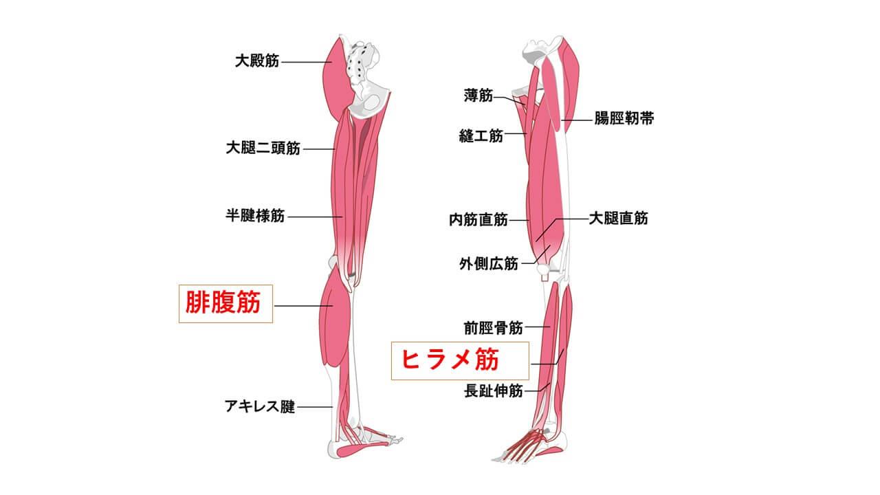 下腿三頭筋・腓腹筋・ヒラメ筋