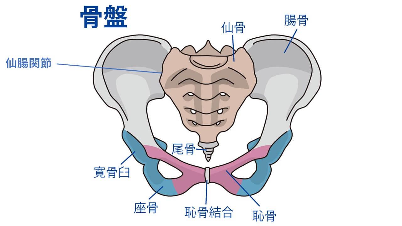 骨盤と仙腸関節