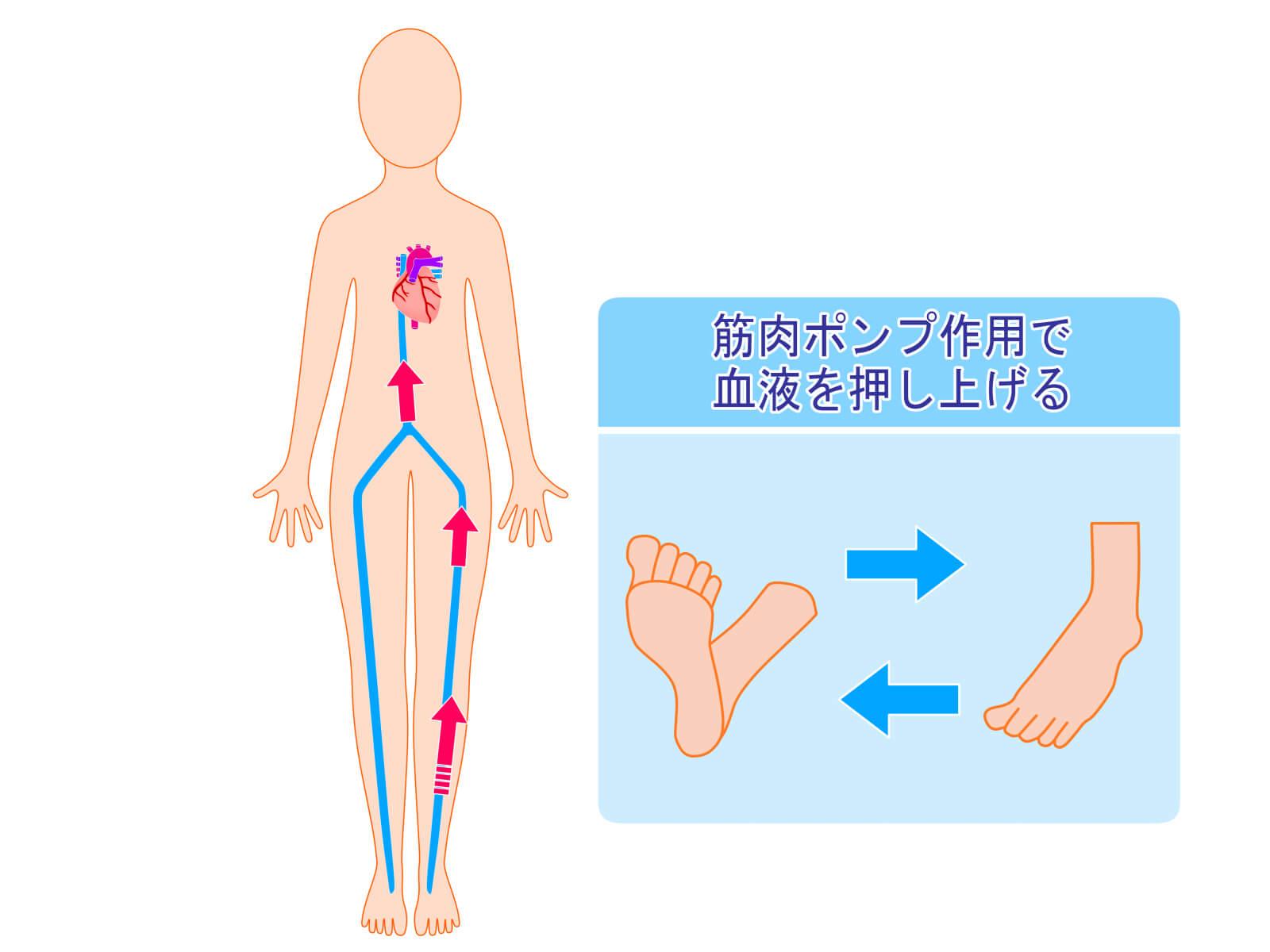 筋ポンプ作用と血液循環