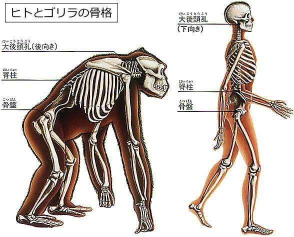 ヒトとゴリラの骨格