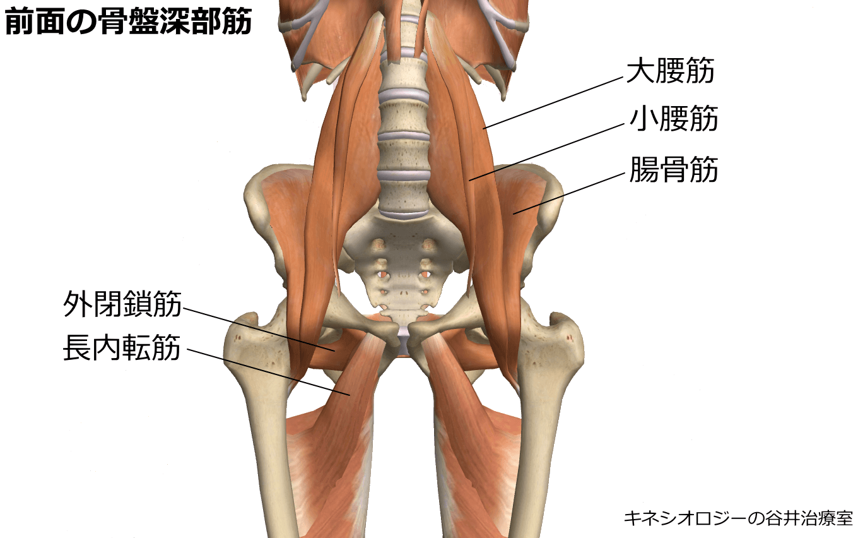 前面の骨盤深部筋肉