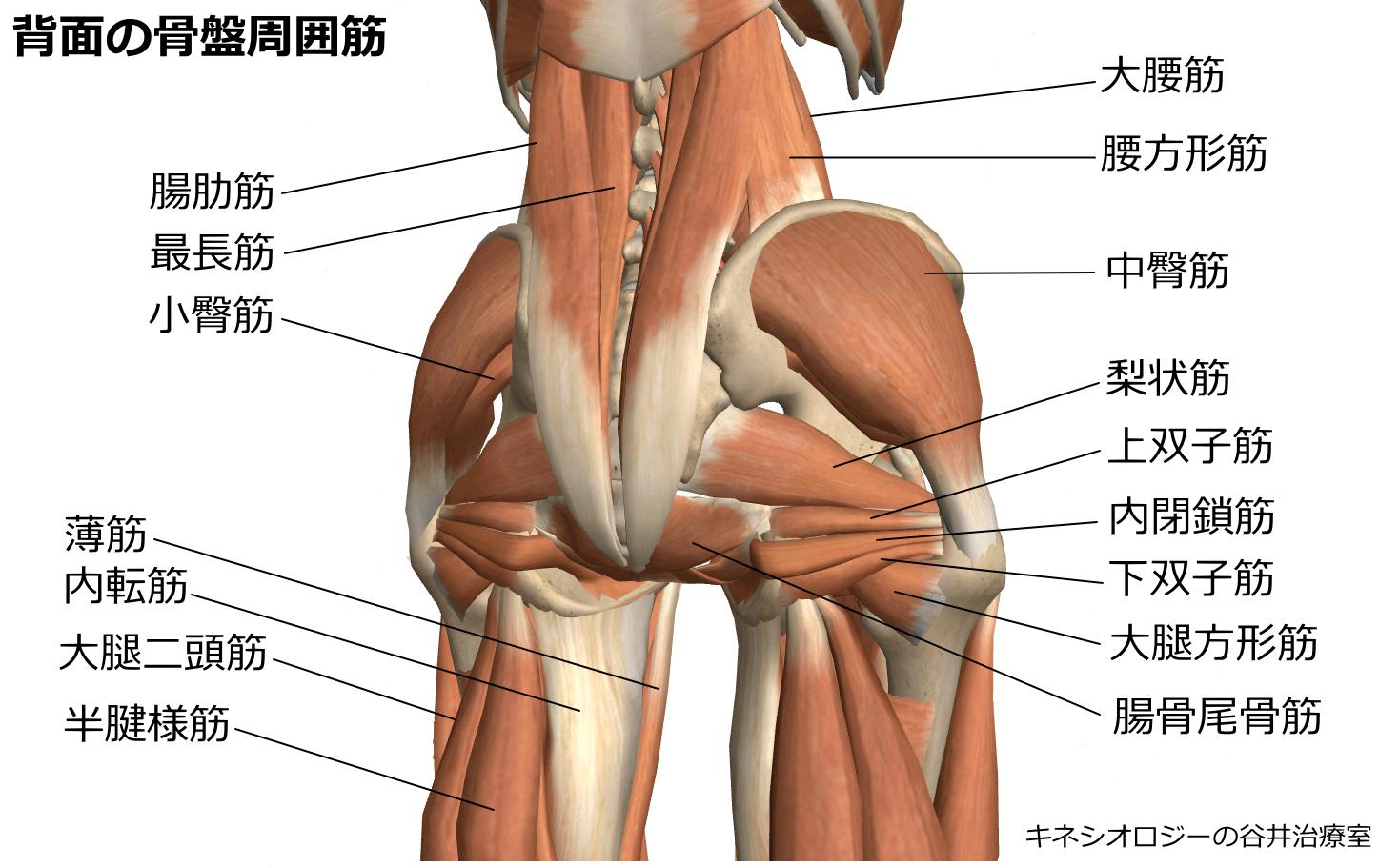 背面の骨盤周囲筋