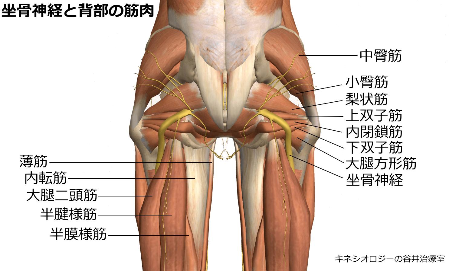 坐骨神経と臀部筋肉